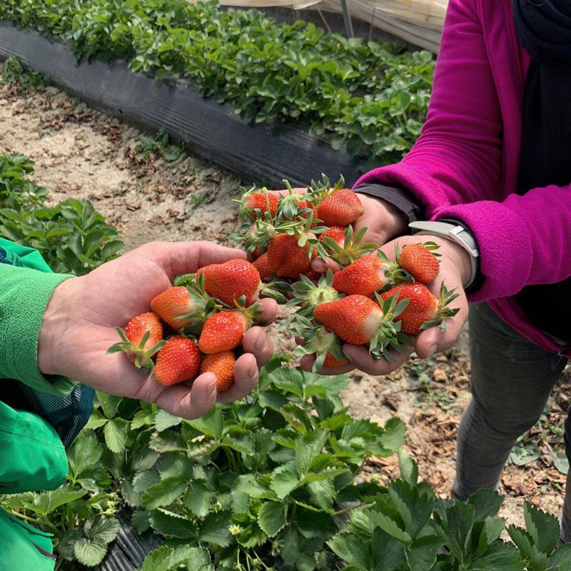 Erntefrische Erdbeeren | Mieze Schindler